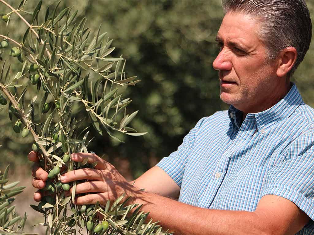 El esfuerzo y sabiduría de los agricultores almerienses en el cultivo de la aceituna