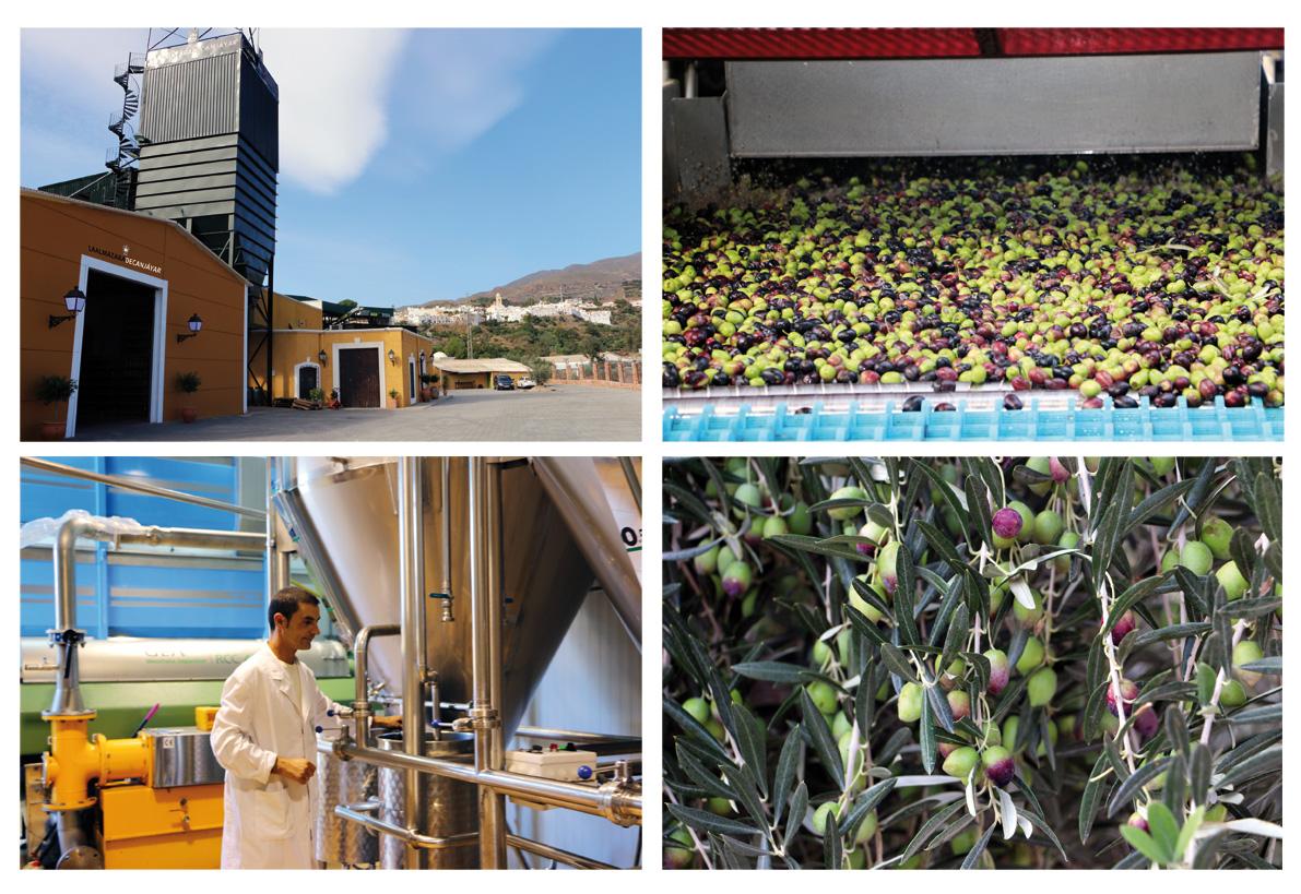 Los agricultores almerienses ya comienzan la recogida de la aceituna
