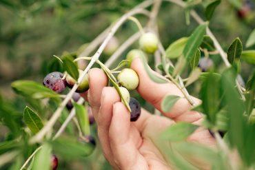 La industria aceitera de Almería alcanza ya las 22.000 hectáreas de olivos.